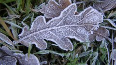 Frosted Oak Leaf